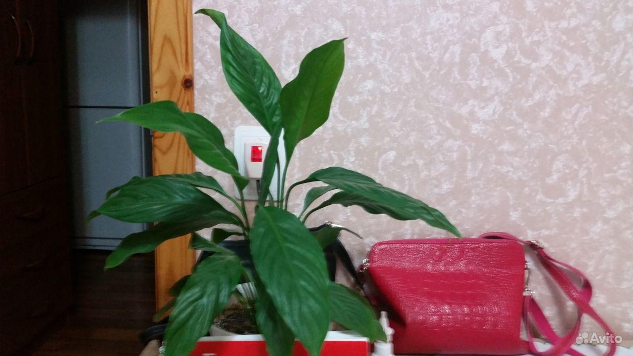 Продам цветок женское счастье купить ...: https://avito.ru/astrahan/rasteniya/prodam_tsvetok_zhenskoe_schaste...