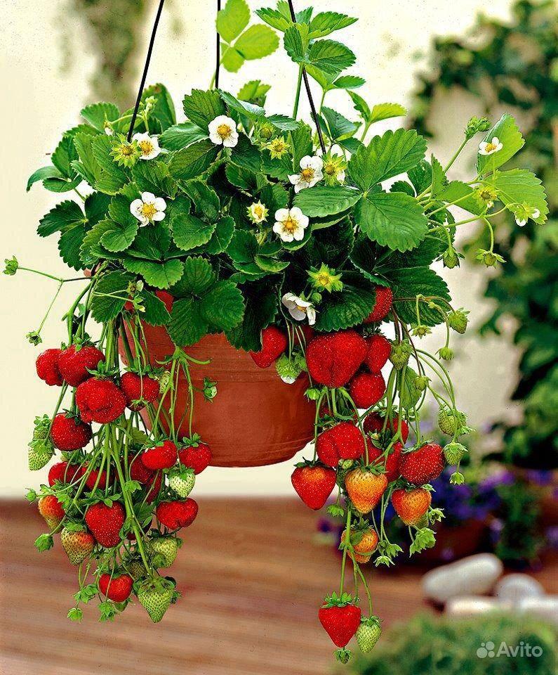 плодовые комнатные растения