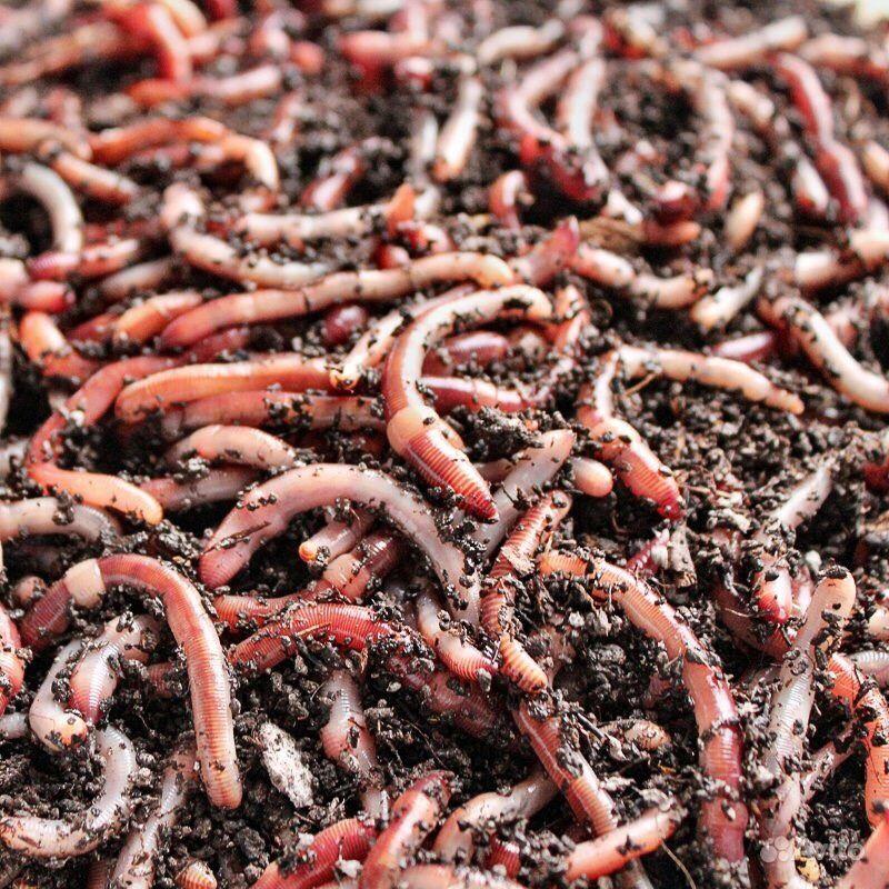 Бизнес-идея: разведение червей