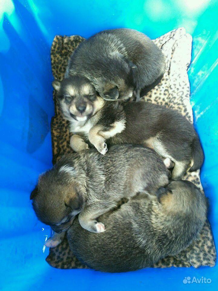 Щенки от средней собачки в Дзержинске - фотография № 2