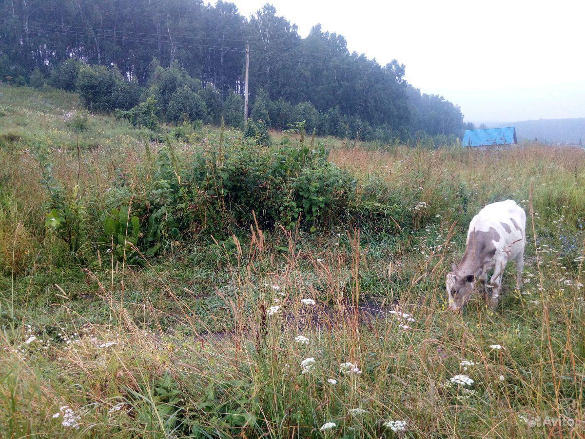 Корова и телка