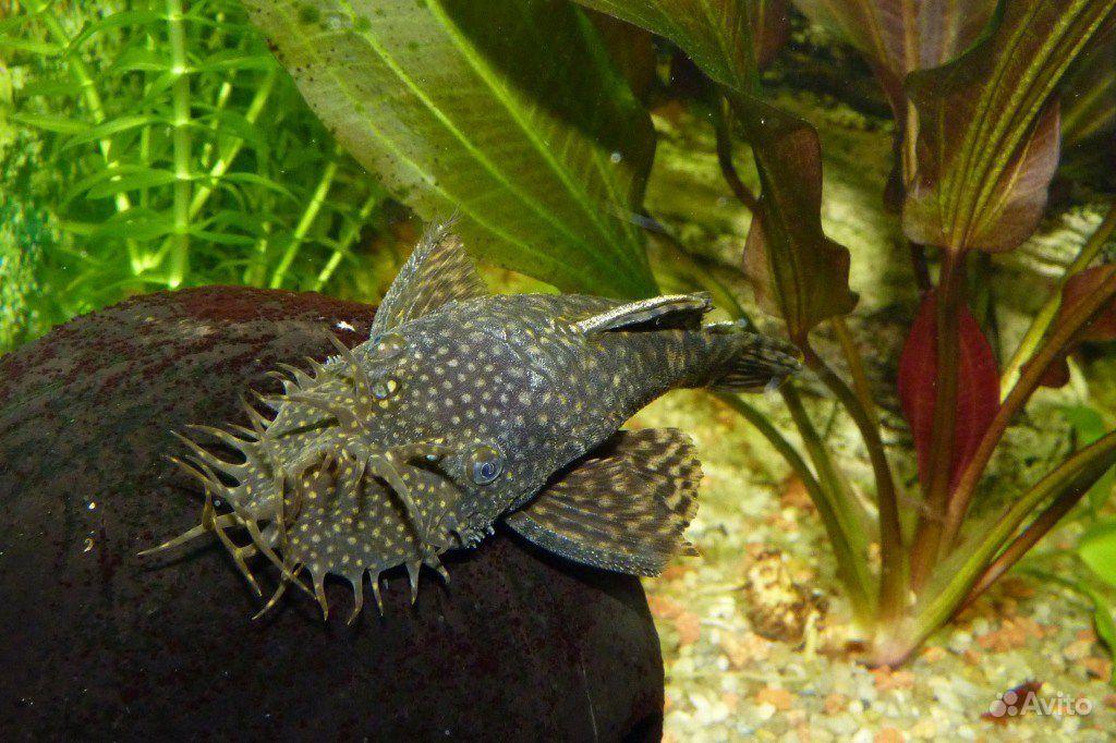 Рыбки аквариумные сом анциструс (чистильщик)