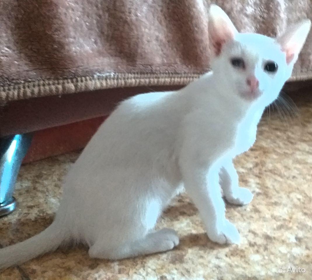 Кошка белого окраса (без пятен)