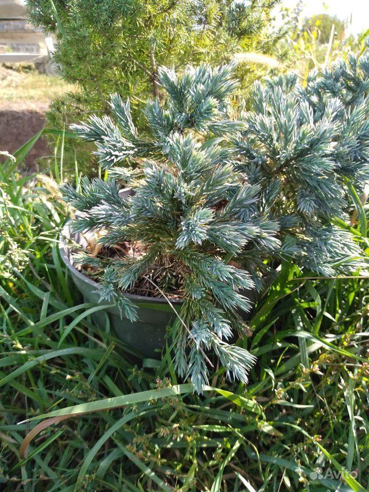 Декоративные хвойные растения купить на Зозу.ру - фотография № 5