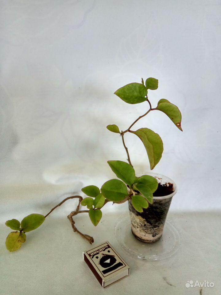 Комнатные растения - кактусы, смотрите и другие ра купить на Зозу.ру - фотография № 6