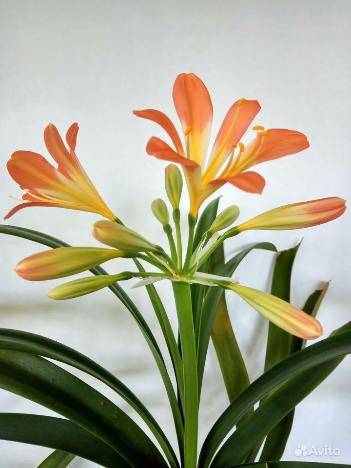Комнатные растения - кливия и другие растения купить на Зозу.ру - фотография № 2