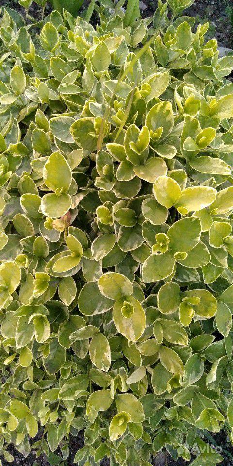 Садовые растения(многолетники) купить на Зозу.ру - фотография № 3