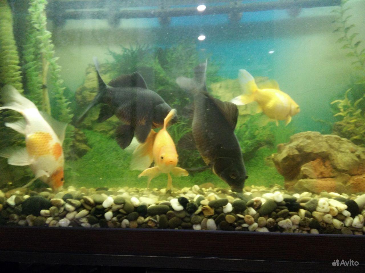 Коллекционные золотые рыбки купить на Зозу.ру - фотография № 8