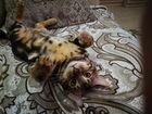 Кота-бенгала отдам в добрые руки
