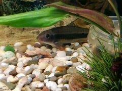 Рыба Водорослеед (лисичка) 2 штуки
