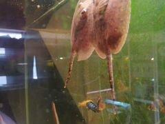 Рыба скаты аквариумные