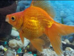 Рыба Риукин золотой/ситцевый и жёлтый попугай