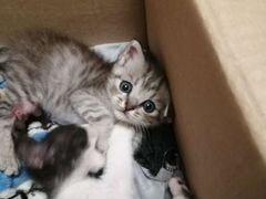 Котенок девочка, британской короткошерстной, расцв