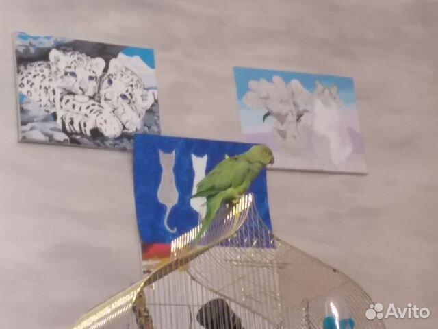 Ожереловый попугай 89044626339 купить 2