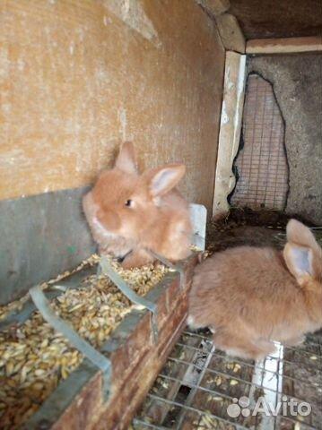 Племенные кролики 89065705365 купить 2