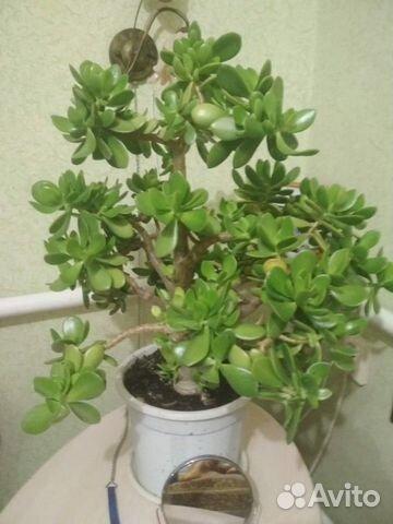 Денежное дерево 57см, толстянка (crassula ovata)  89064611428 купить 1