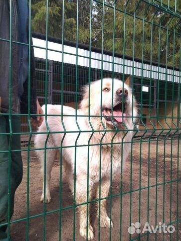 Горшая пиренейская собака в добрые руки, близкий м купить 3