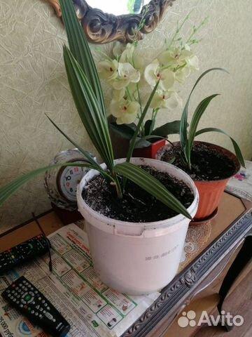 Финиковая пальма (2 года)  89875256420 купить 1