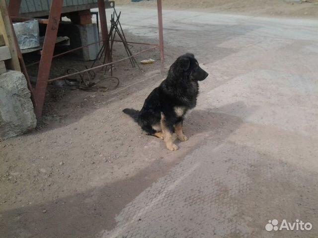Собаки в надежные ответственные руки  89178080969 купить 4