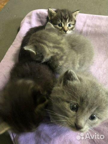 Котятки  89109732623 купить 3