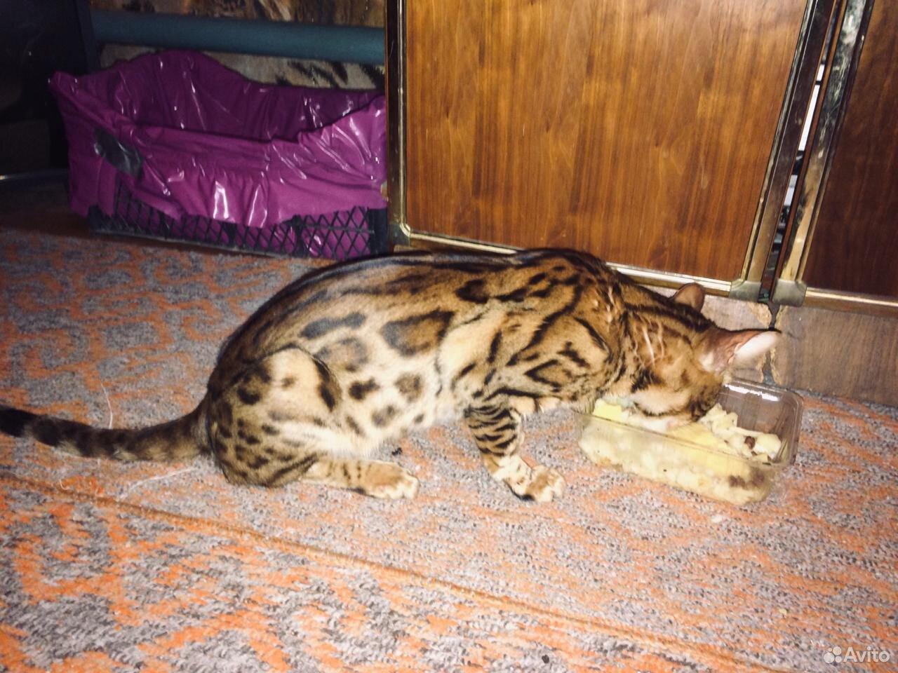 Кошка потеряшка  89608536772 купить 2