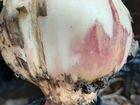 Гигантский лук гуливер
