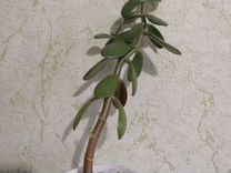 Денежное дерево, алоэ