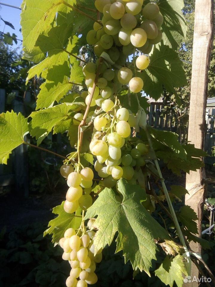 Черенки винограда  89531243354 купить 7