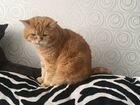 Британский кот на вязку