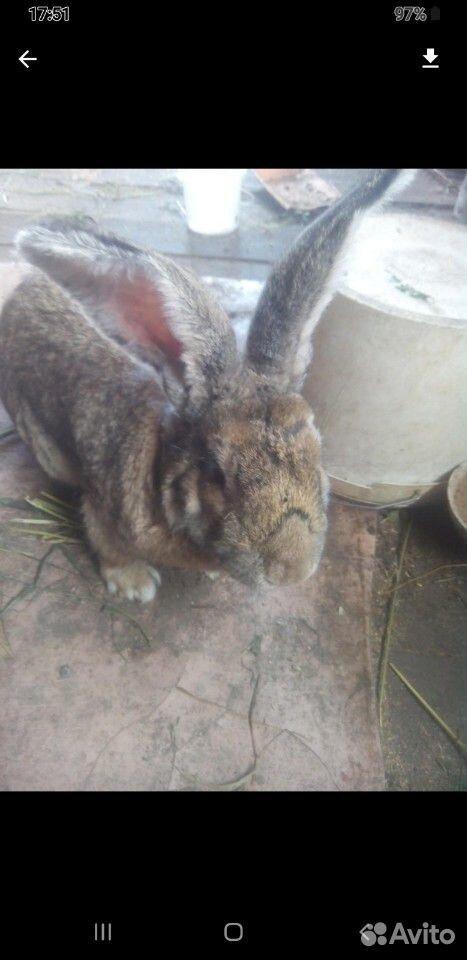 Кролики  89832825779 купить 1