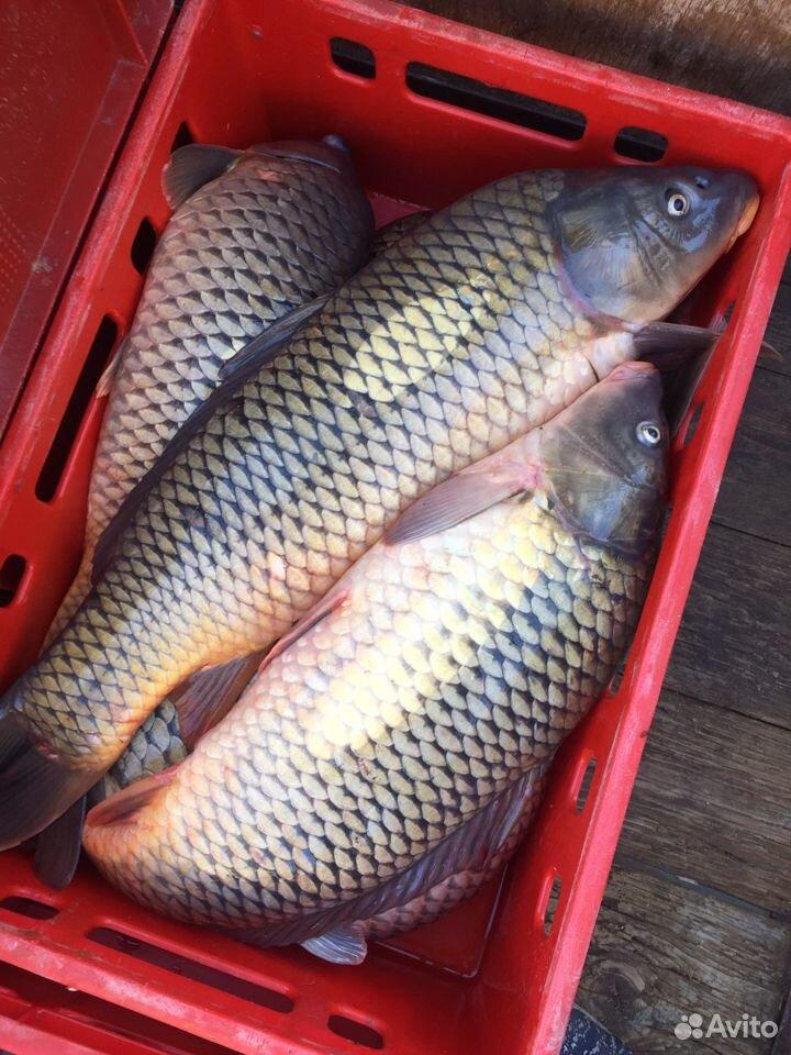 Рыба, Морской сазан  89398888010 купить 1