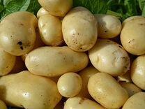 Семенной картофель сорта Импала