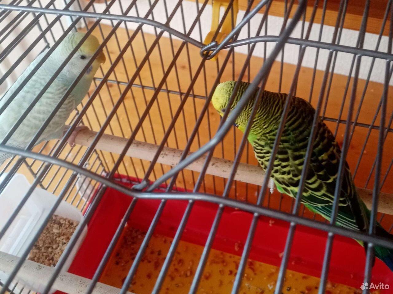 Пара волнистый попугаев