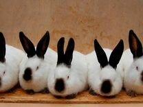 Кролы(самцы ) зимний окрол на племя